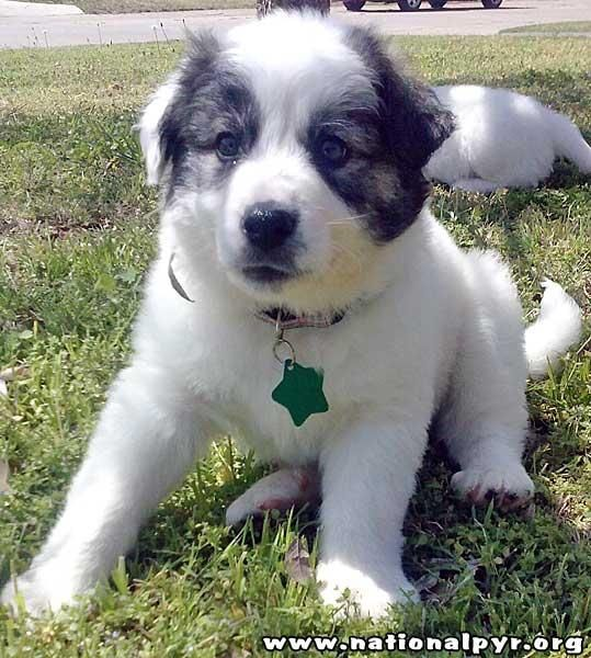 Adopt Comet In Ok Pup Adopted On Pup Puppies Great Pyrenees