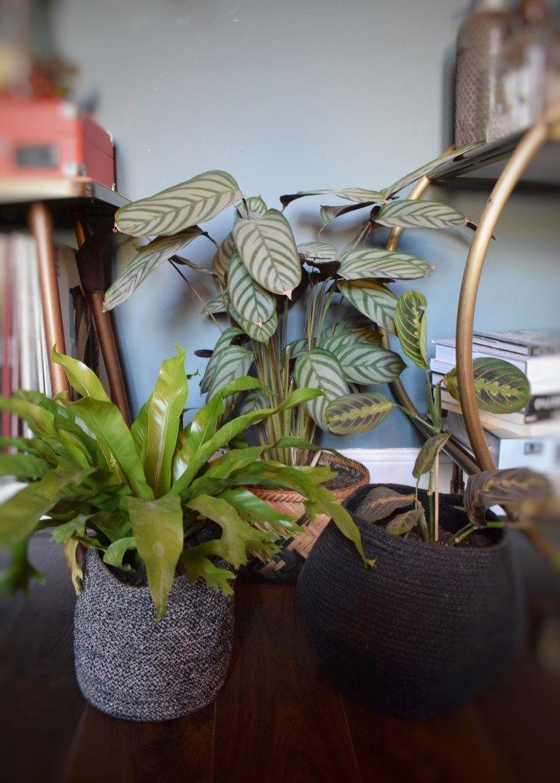 Zz Plant Toxic