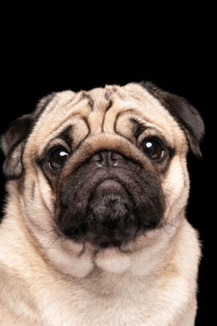 Cute Dog Pug Breed Looking Camera And Making Funny Face Isolated On Black Background Pugs Cute Pugs Pug Memes