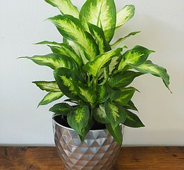 We Source Our Indoor Plants From The Best Nurseries In Nz Lovingly Look After Them Then Ship Them Directly Your Door Fre Plants Indoor Plants Indoor Gardens,Upholstered Club Chair And Ottoman