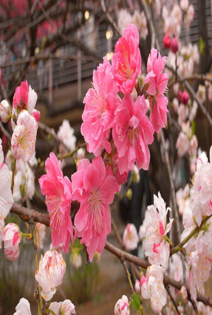 Este tipo de sakura no es tán común y totalmente espectacular.