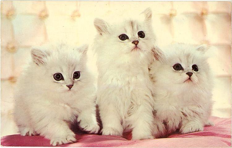 Three White Kittens Muscatteers Vintage Postcard 1968 Kitten Adoption White Kittens Kitten Season