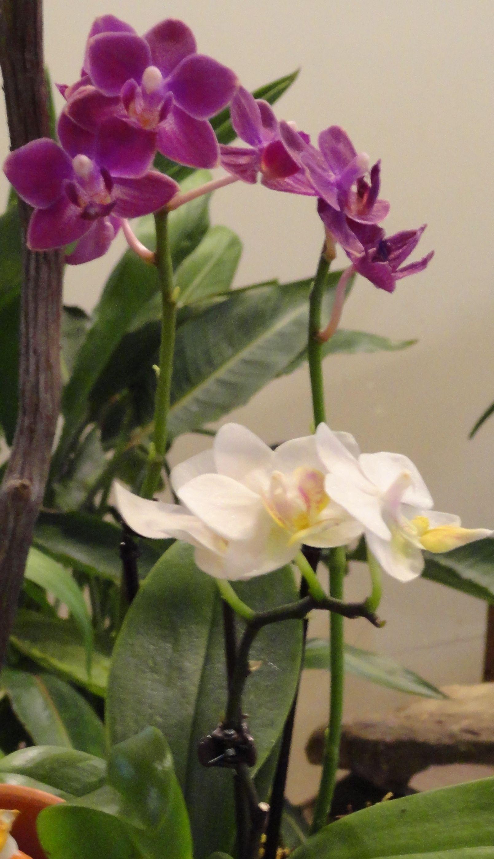 Varieties of orchids kurtzus florist motherus day flowers