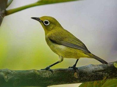 Cara Membedakan Pleci Jantan Dan Betina Dari Suaranya Cara Membedakan Pleci Jantan Dan Betina Anakan Membedakan Pleci Jantan Dan Burung Makanan Burung Binatang