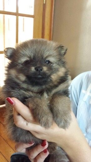 My baby boy!! Bo Bear. 5 week old Sable Pomeranian pup