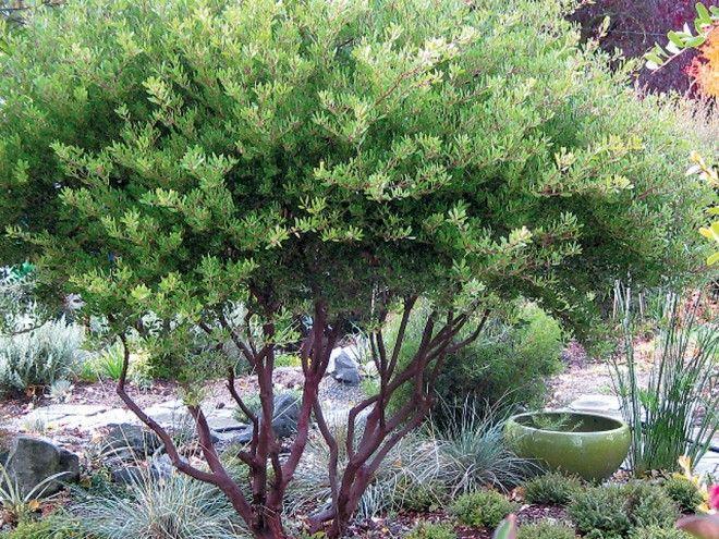 Arctostaphylos for Northwest Gardens - Arctostaphylos densiflora 'Howard McMinn' in a garden setting.
