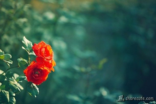 Lonely Rose Rose Wallpaper Blur Photo Background Light Pink Flowers Blur flower background images hd