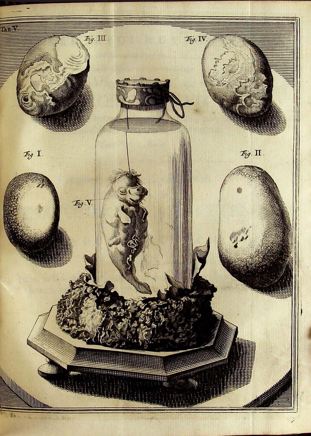 Illustration De Frederick Ruysch Pour Son Cabinet