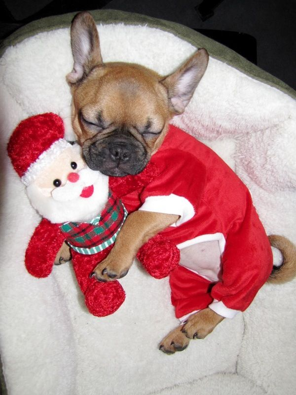 Santa S Little Christmas Day Helper French Bulldog Puppy