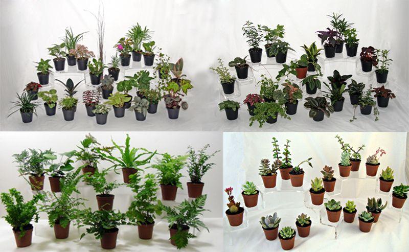 Wholesale Terrarium And Fairy Garden Plants At Batsonu0027s Foliage Group!