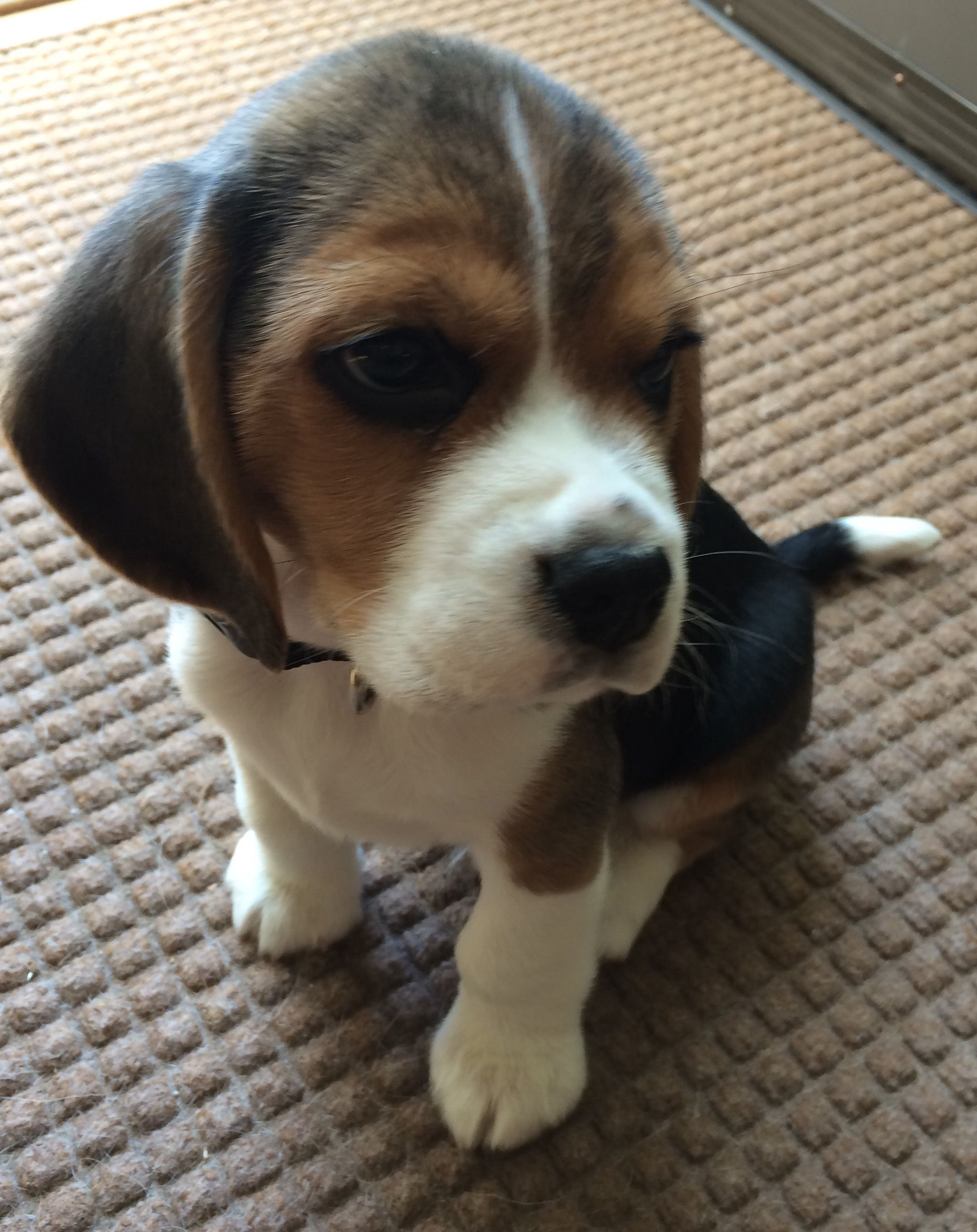 Pin By Summer Reyes Carullo On Beagles Beagle Puppy Dog
