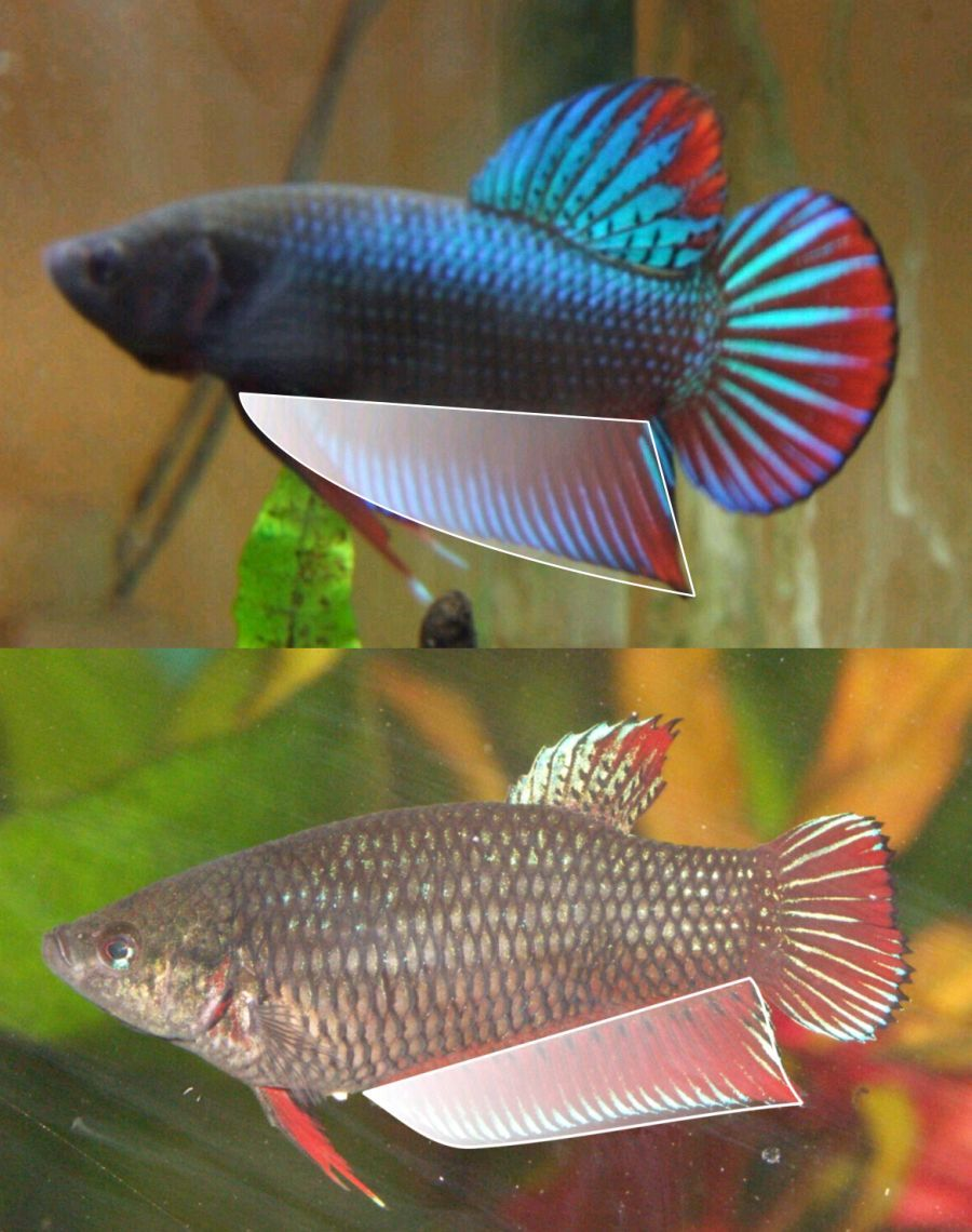 File Male Female Bettas Jpg The Free Freshwater And Saltwater Aquarium Encyclopedia Anyone Can Edit Betta Fish Tropical Fish Aquarium Betta