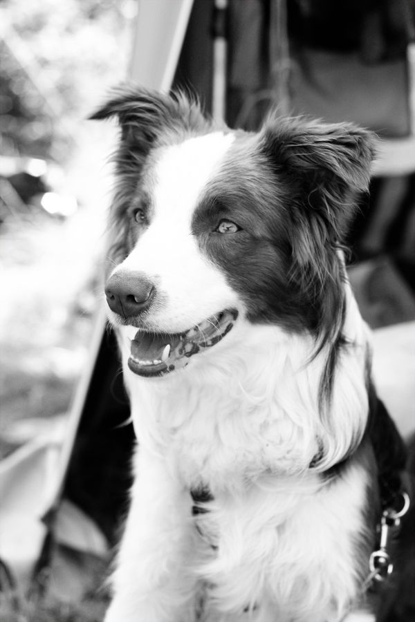 Gliders And Cocktails Border Collie Lover Border Collie Collie