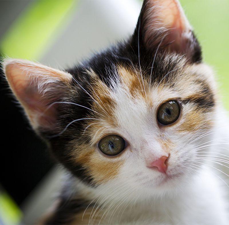 Calico Cat Names Kittens Cutest Cute Cats Calico Cat Names