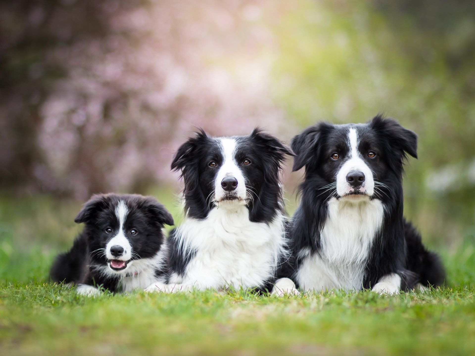 The Most Popular Dog In Every State Border Collie Puppies Border Collie Puppy Training Collie Puppies