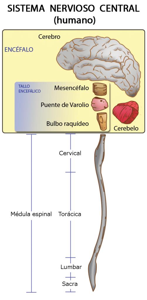 Sistema Nervioso Humano Explicado Facil Anatomia Del Cerebro Humano Sistema Nervioso Humano Sistema Nervioso Central