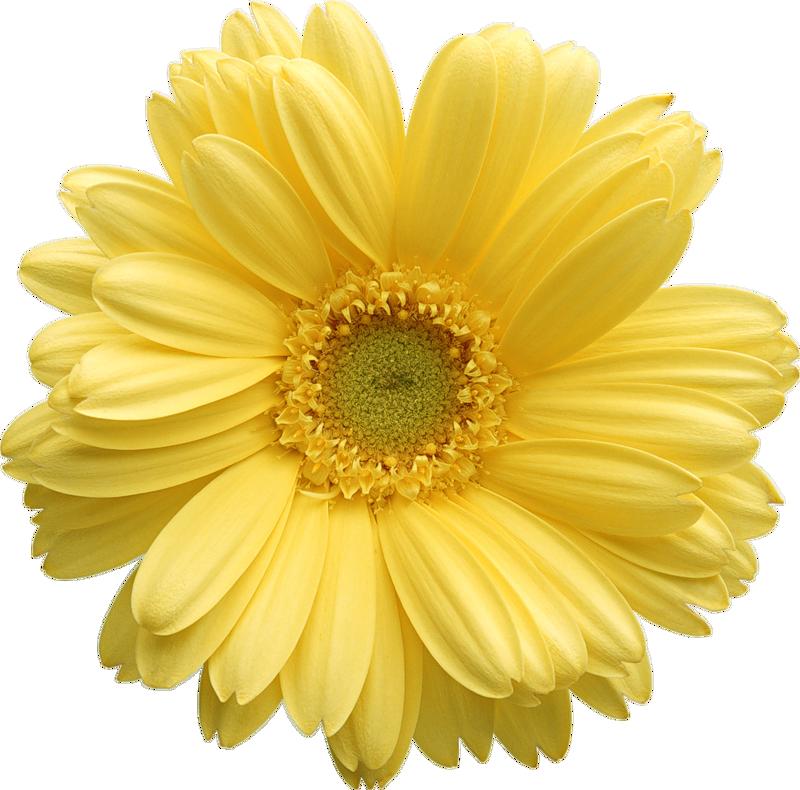 Daisy free clip art Flower clipart, Clip art, Flowers