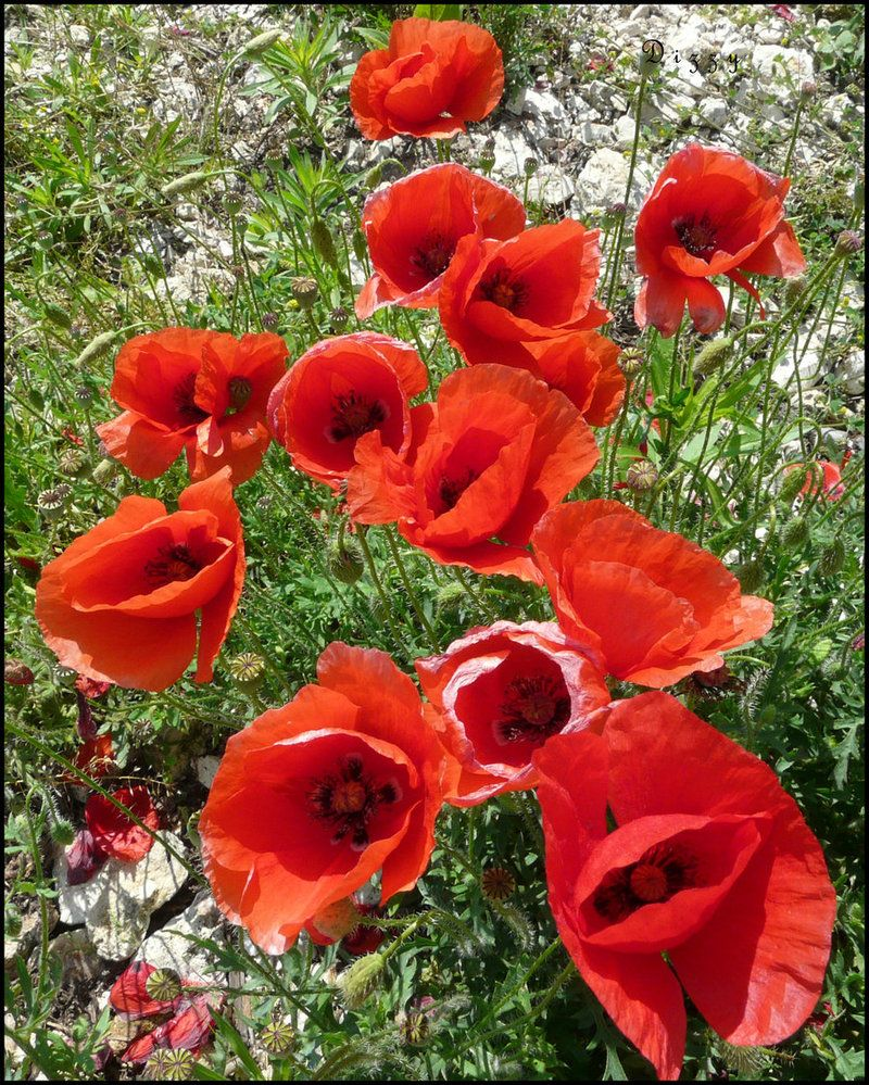 Poppies Pinterest Flowers Flowers Garden And