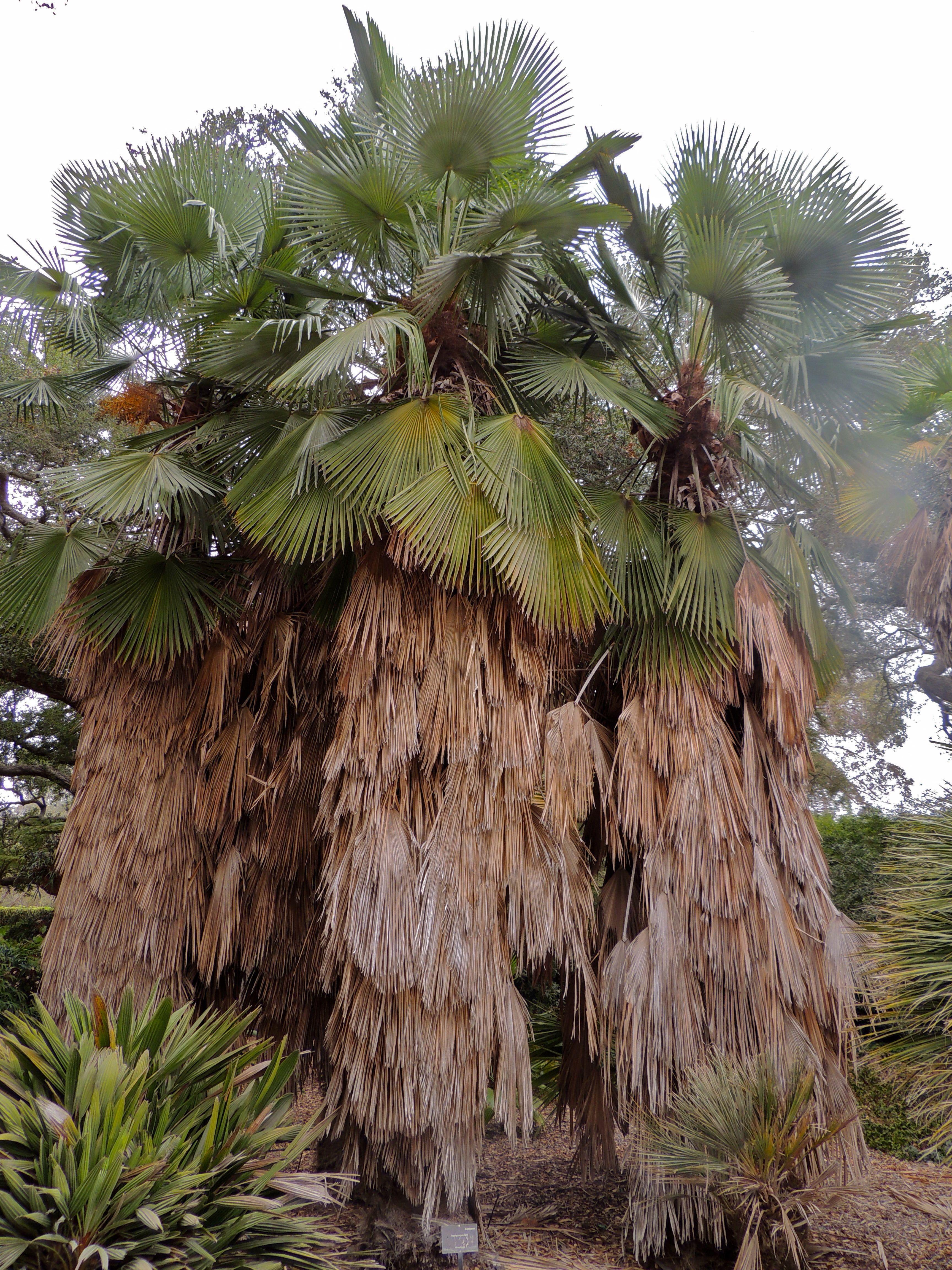Trachycarpus Takil Lotusland, Santa Barbara, California Santa Barbara Californiapalm Treespalmscoldpalmas