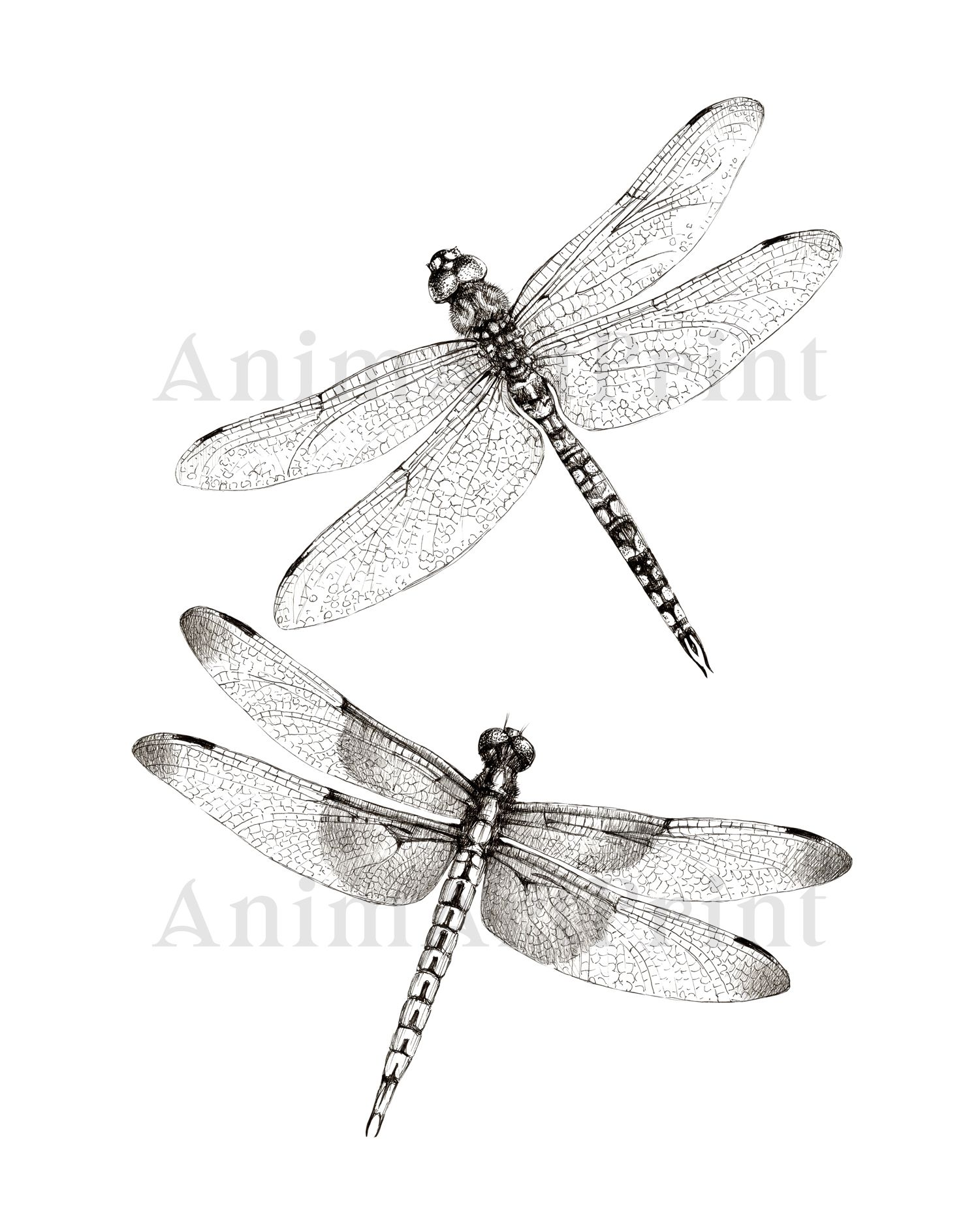 Dragonfly Sketch Black And White Print Two Dragonflies Flying