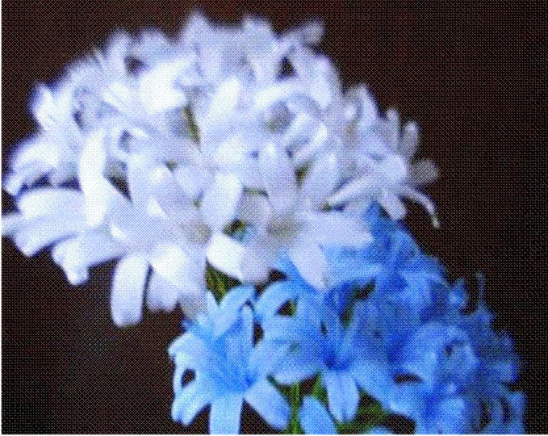 Paper Flowers - Agapanthus / Lily of the Nile (Flower # 48)