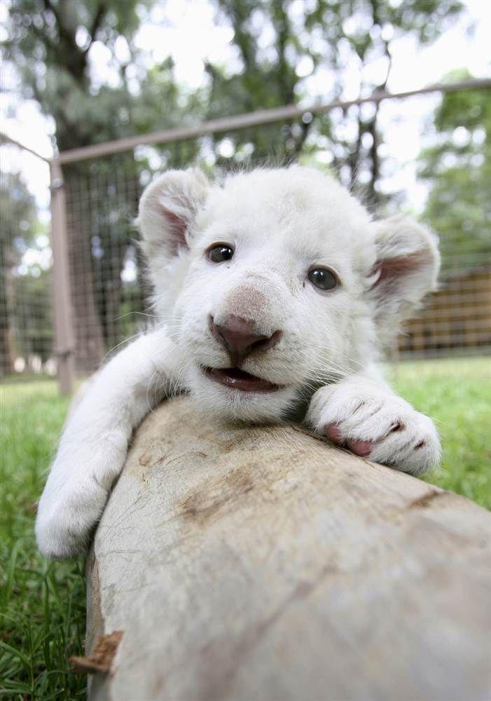 Animal Tracks: Oct  10 - 17 | Baby Animals | Cute lion, Lion cub