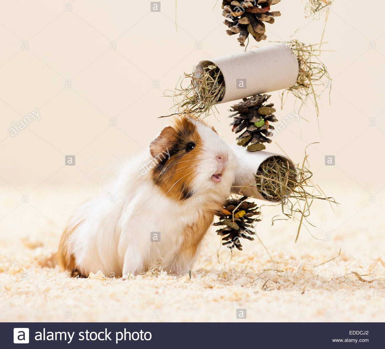Pin On Guinea Pig Toys