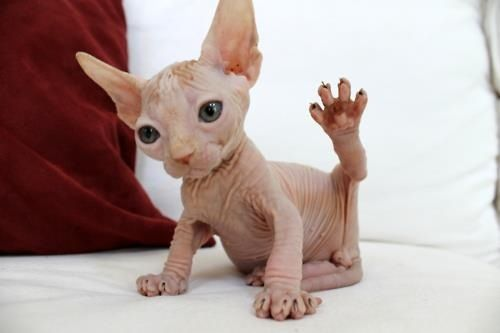 Hairless cat- yes this is real! Kinda cute in an ugly sort of way