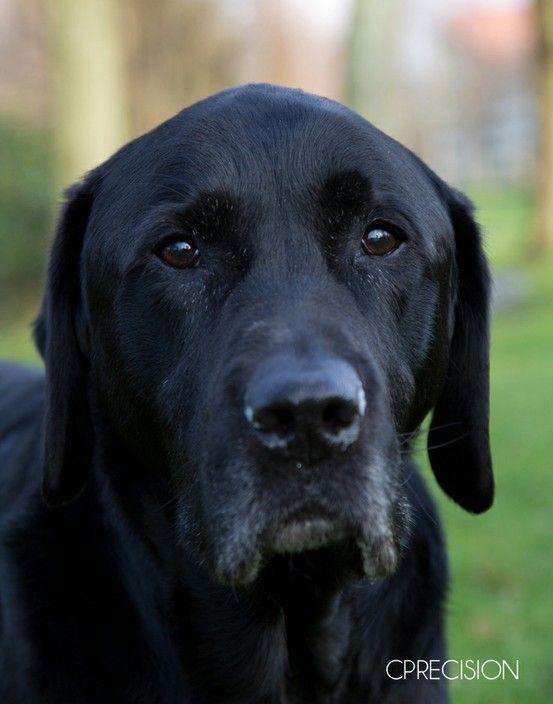 #Labrador <3