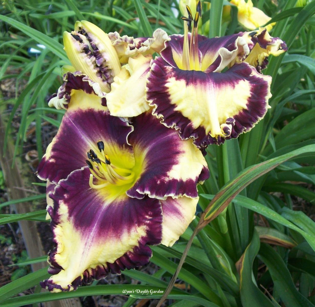 Photo of Daylily (Hemerocallis 'Glamoureyez') uploaded by