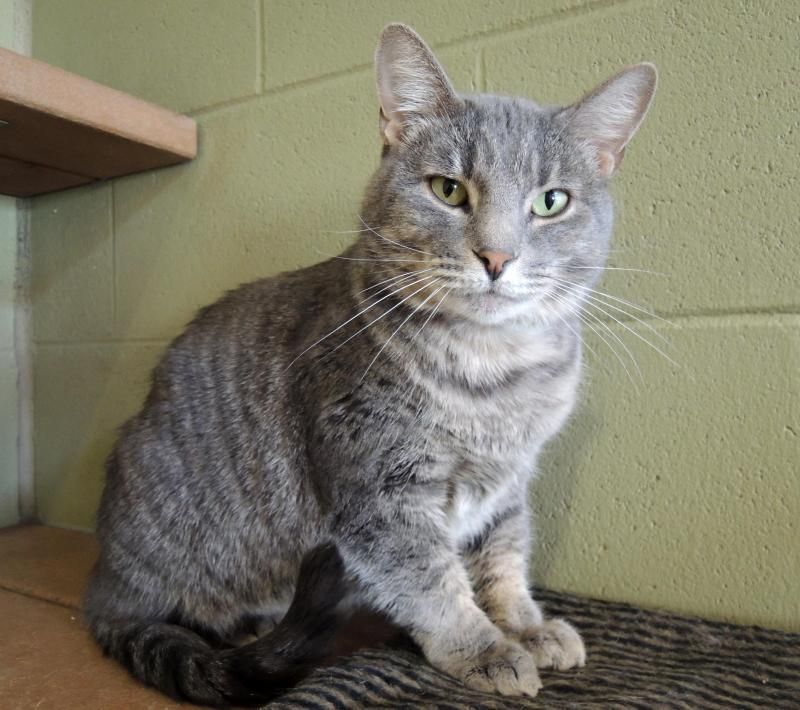 Adopt Blue On Petfinder Cat Adoption Animals Animal Rescue
