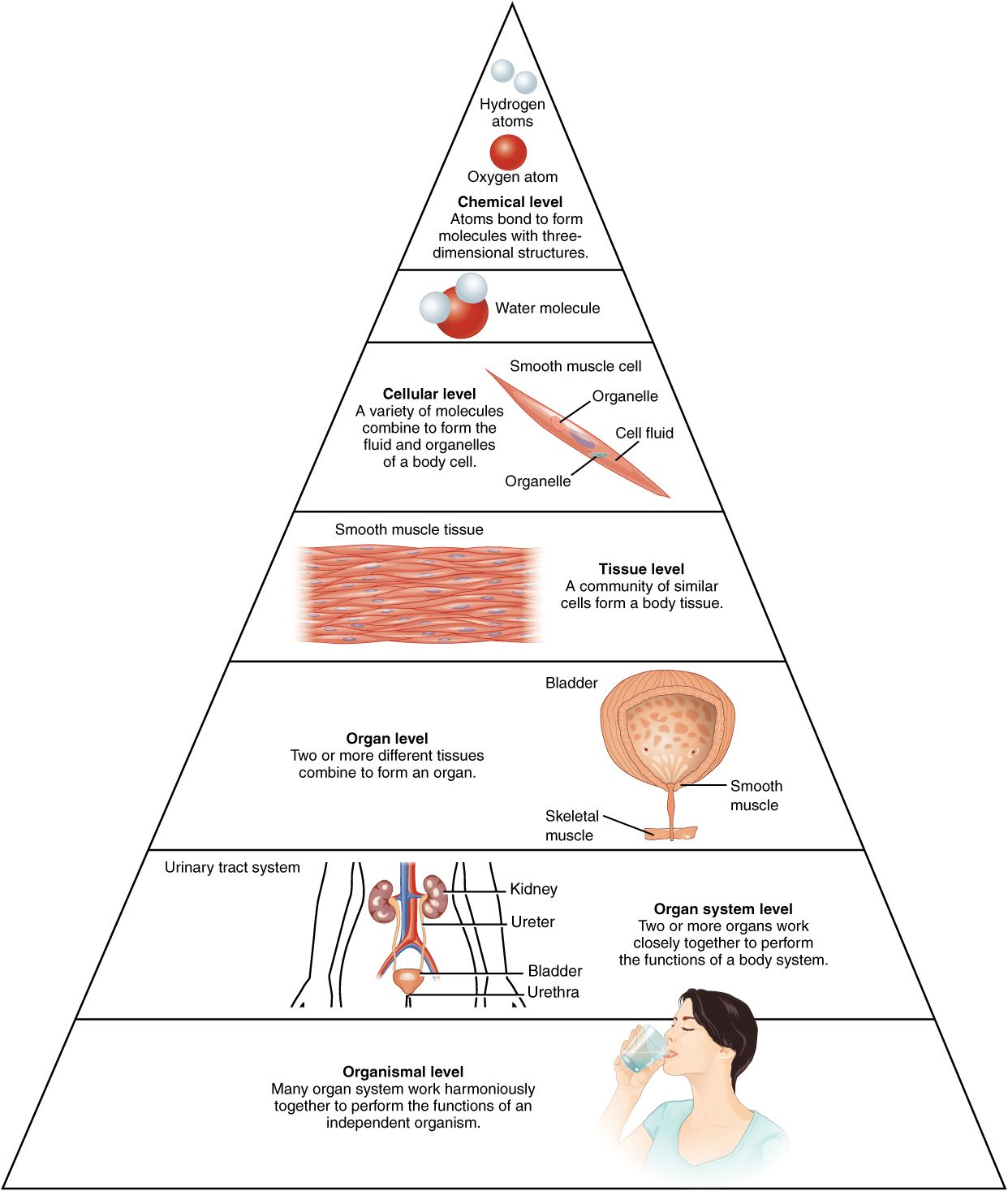 The Organization Of The Body Often Is Discussed In Terms Of Six Distinct Levels Anatomy And Physiology Human Anatomy And Physiology Human Body Anatomy