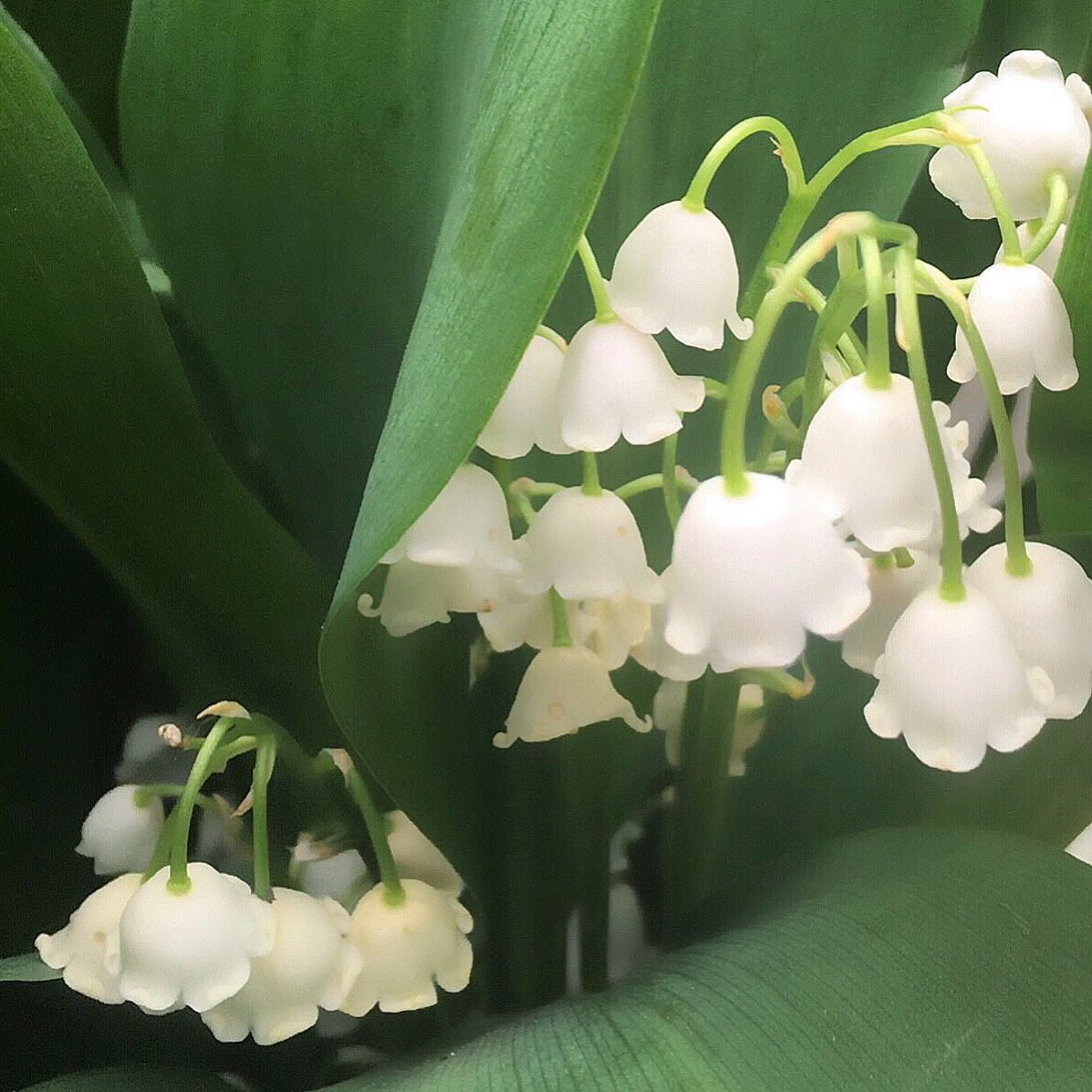 Lily Of The Valley Convallaria Majalis Lily Of The Valley Planting Flowers Flowers