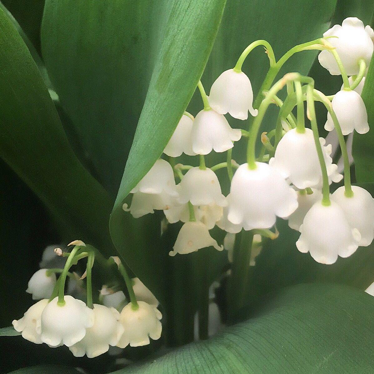 LilyofTheValley (Convallaria Majalis) 꽃, 꽃 나무, 나무