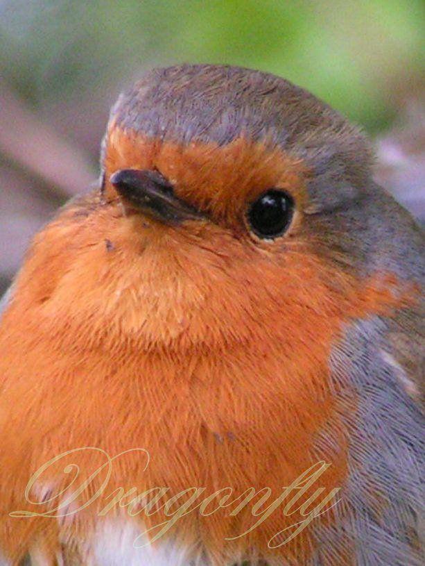 Robin British wild bird www.dragonflyvintagepostcards.co.uk