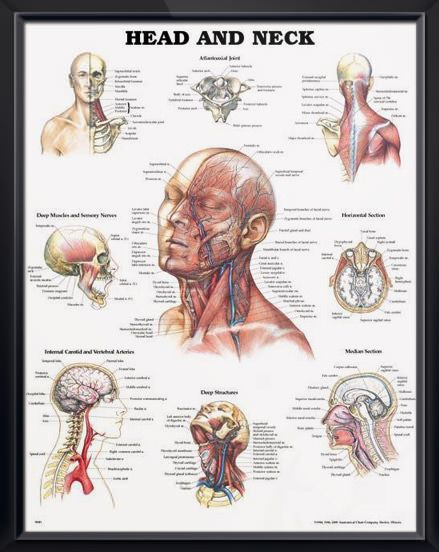 head and neck anatomy poster depicts muscles, veins, nerves and arteries of  the head and neck for patient and classroom instruction