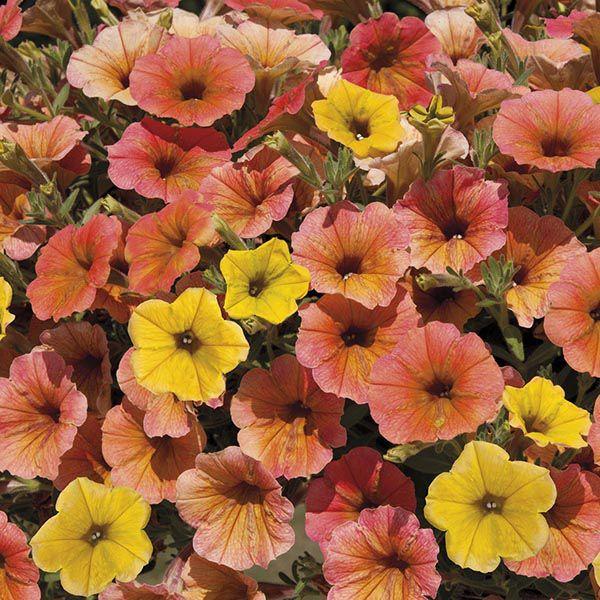 From Mr Fothergills Seeds Summer Plants Plants Petunias
