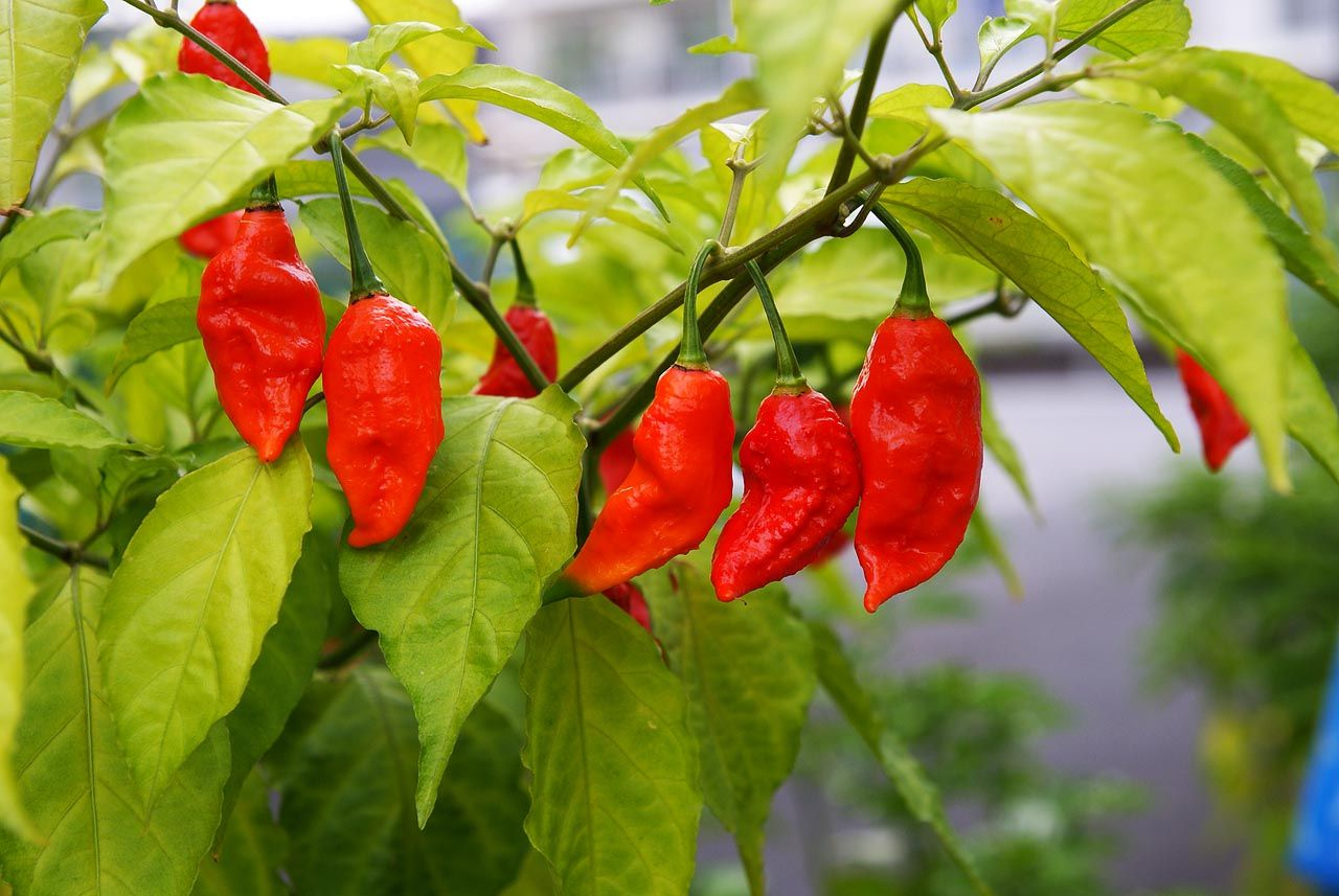 Red Bhut Jolokia (Ghost), Pepper Seeds Ghost peppers