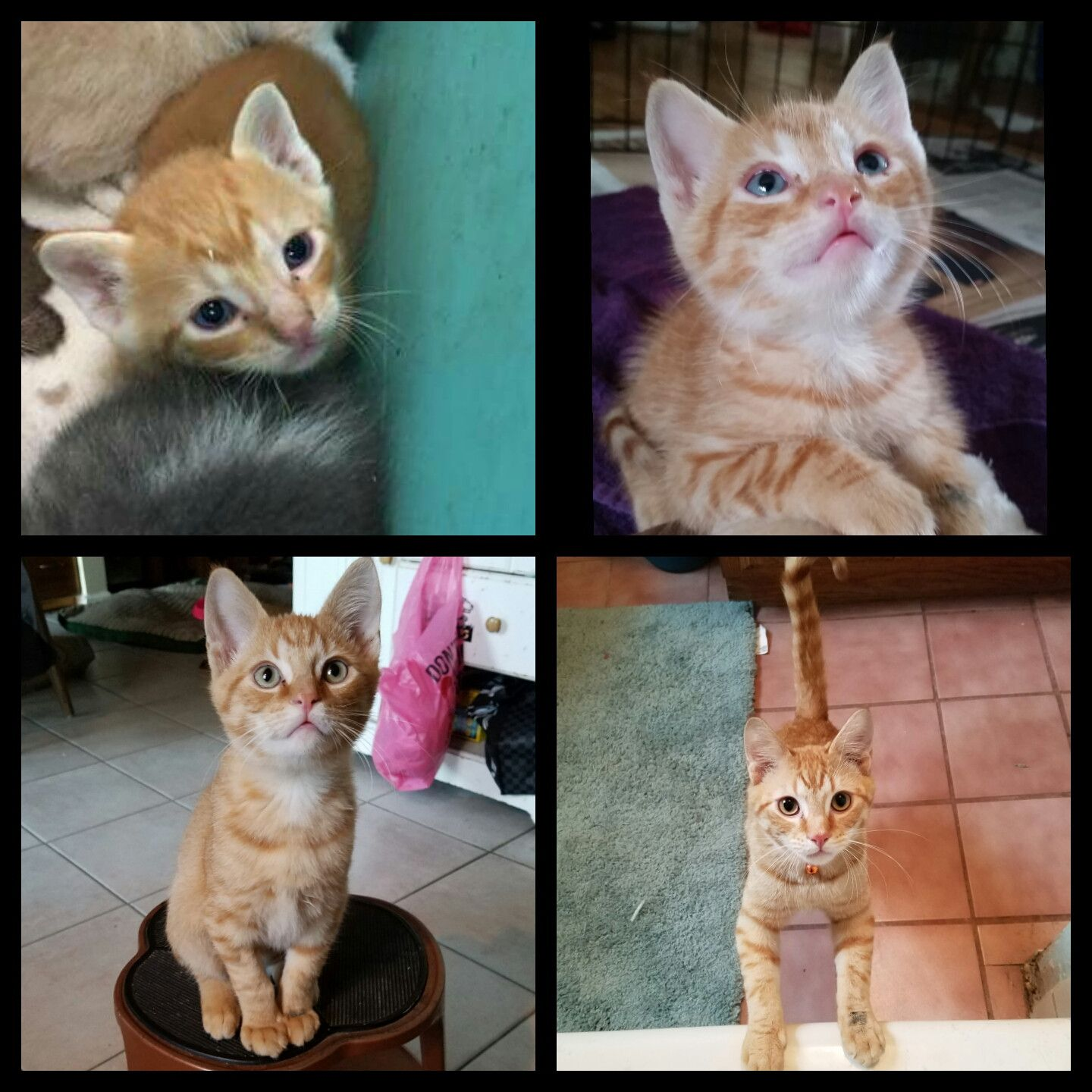 The Transformation Of A Kitten Sir Marcus The Red 4 Weeks Old 8