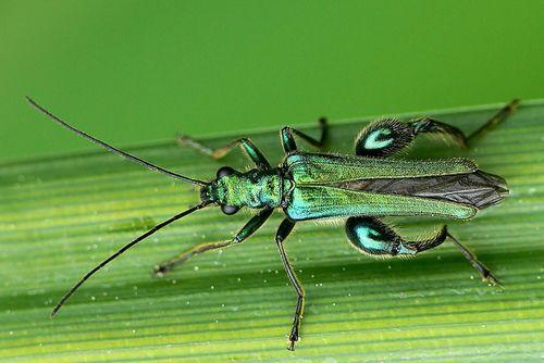 Este escarabajo peculiar que se conoce comúnmente como Thick-Legged flor Escarabajo o Grueso-rodillas escarabajo de flores y pertenece a las especies  Oedemera nobilis  (Coleoptera - Oedemeridae), que se encuentra en Europa Occidental y el sur de Inglaterra.