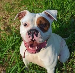 Adopt Pink On American Bulldog Bulldog Dog Bulldog