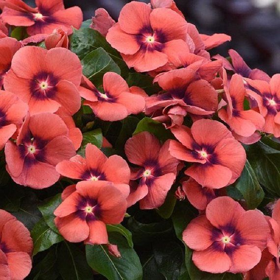 d027bbc13 Vinca Seeds Tattoo Tangerine 25 thru 250 Seeds New For