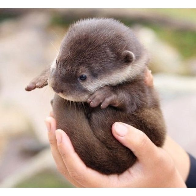 Baby otter (: