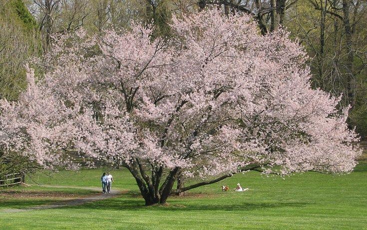 Autumn Cherry Tree Tree Lined Driveway Ornamental Trees Trees To Plant