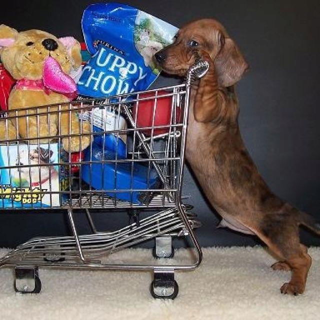 Little Shopper Dachshund Puppy Love Dapple Dachshund Puppy