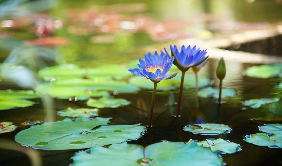 Blu #Lotus flowers