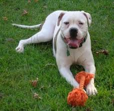 American Bulldog Looks Just Like My Cain Only Bigger