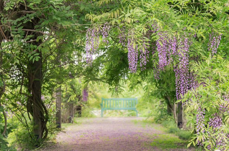 Chinese Wisteria Plant Care And Growing Guide In 2020 Chinese Wisteria Wisteria Plant Wisteria Tree