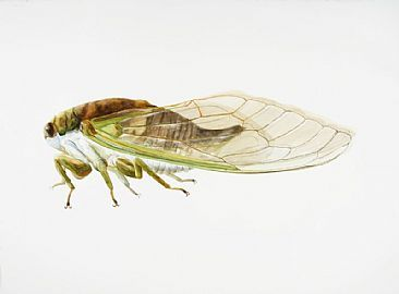 Silver-bellied Cicada - insect, cicada, silver-bellied cicada, locust by Dinah Wells
