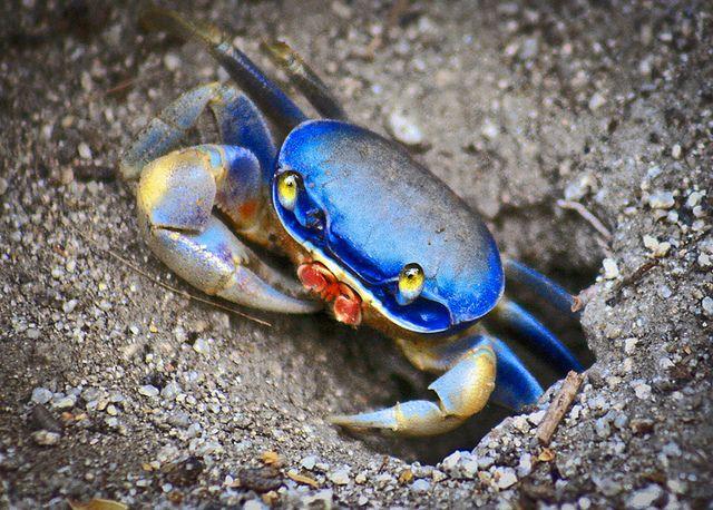 La Jaiba O Cangrejo Azul Es Un Crustaceo Decapodo Que Presenta Cinco Pares De Patas Su Cuerpo Esta Cubierto De Un Exoesquel Crab Fishing Crustaceans Blue Crab